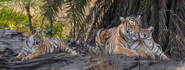 Ranthambhore National Park: Tigers at Play