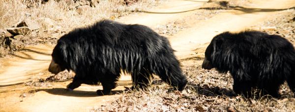 Sloth Bear in Satpura