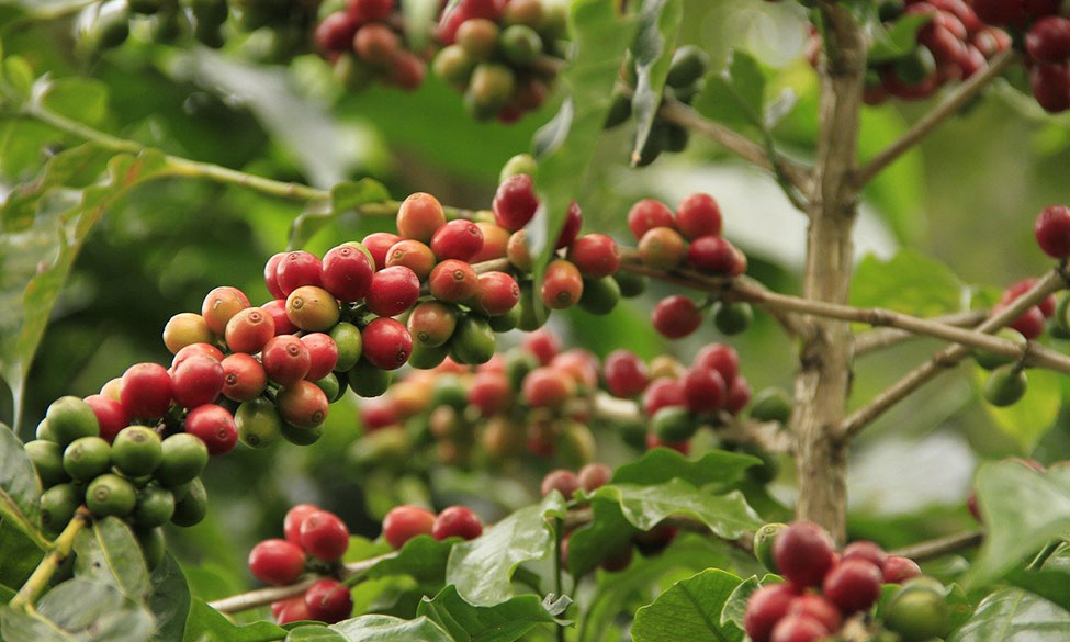 Book a Special Virtual Tour of a Celebrated Coffee Plantation