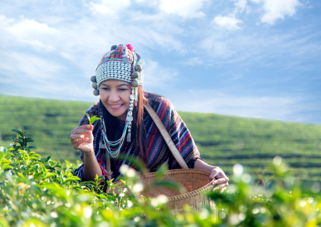Lady picking tea experience in Darjeeling and Assam